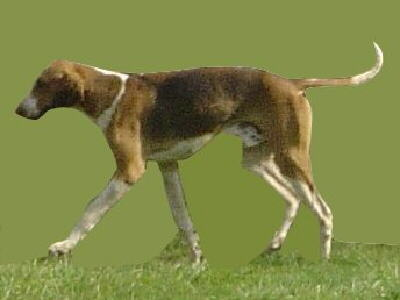 Ein English Foxhound